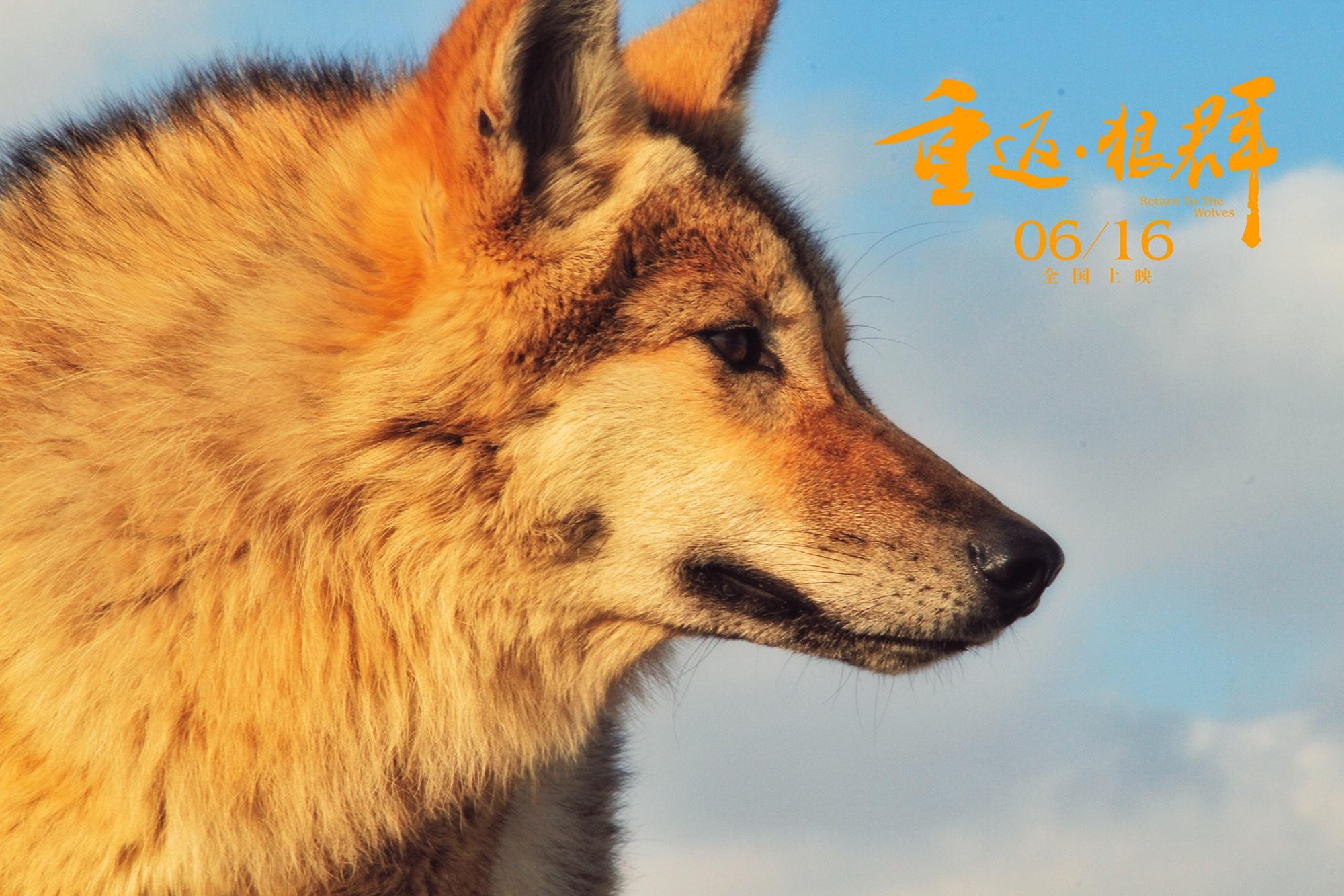 在本次发布的预告片中,《狼图腾》主演冯绍峰倾情献声,真诚推荐电影