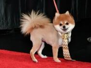 《犬之岛》纽约首映 汪星人们身着盛装亮相红毯