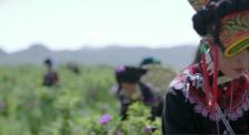 全国年产仅50万吨,胜过大麦茶的苦荞,怎样帮助昭觉脱贫致富