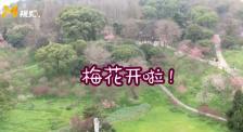 不负春光 云赏花! 武汉东湖公园梅花美丽绽放