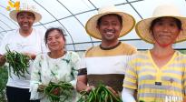 《村里的喜事》:大棚里的辣椒大丰收! 高台村村民传授经验