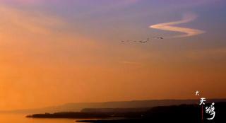 黄河湿地大天鹅的故事:儿行千里母担忧