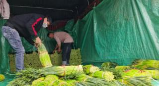 河南中牟:大蒜之乡的新鲜蒜薹上市了